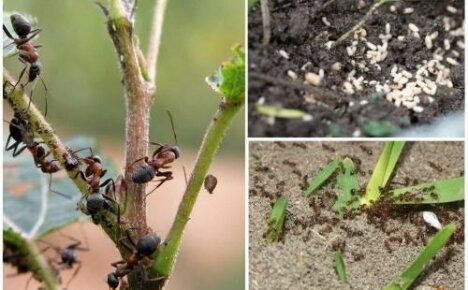 Популярные способы, как избавиться от муравьев на дачном участке