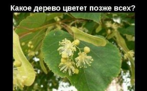 Какое дерево цветет позже всех — интересные факты о природе
