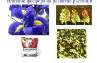 Чтобы получать высокие урожаи, важно знать роль фосфора для растений