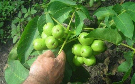 Когда молодой орех начинает плодоносить?