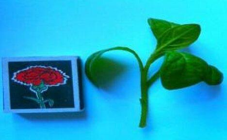 Размножение петунии черенками — правила и советы