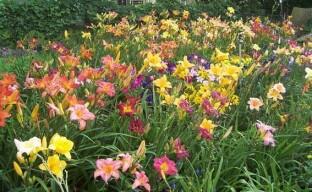 Выращиваем лилейники правильно