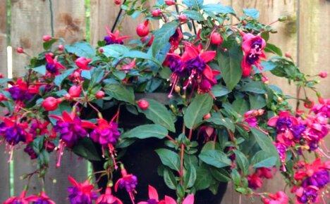 Секреты пышного и красочного цветения заключаются в правильной посадка и уходе за ампельной фуксией