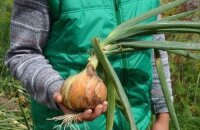 Секреты, как вырастить крупный лук