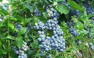 Голубика садовая — королева среди плодово-ягодных кустарников
