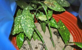 Размножение аукубы: способы и их особенности