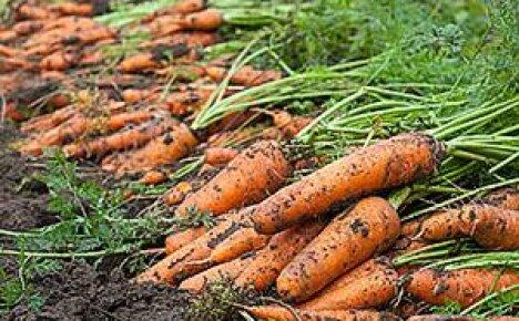 Как сеять морковь: видео, советы, рекомендации