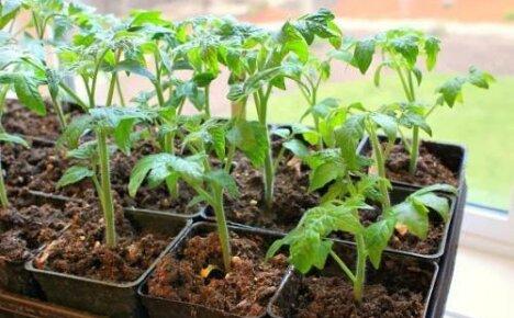 Определяемся со сроками посадки помидор: когда можно сеять семена на рассаду