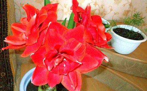 Почему у вас не цветёт гиппеаструм?