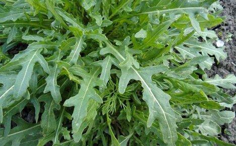Правильное выращивание рукколы в открытом грунте и через 20-30 дней она на вашем столе