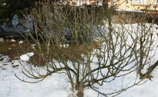 Несложная подготовка сирийского гибискуса к зиме