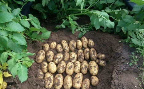 Описание картофеля сорта Королева Анна и нюансы при выращивании для богатого урожая
