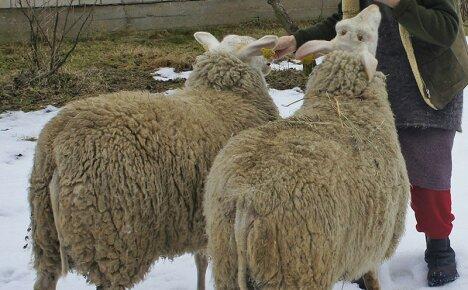 Выбираем лучшие молочные породы овец для своей фермы