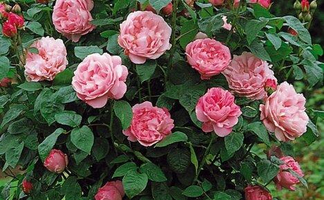 Как вырастить английскую красавицу розу Мэри Роуз в своем саду