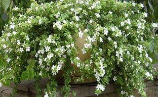 Белоснежная красавица для вашего дома и сада бакопа Сноутопия