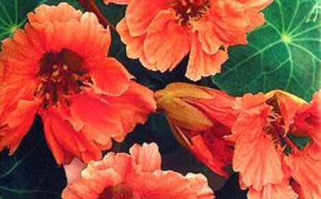 Цветок настурция как визитная карточка лета