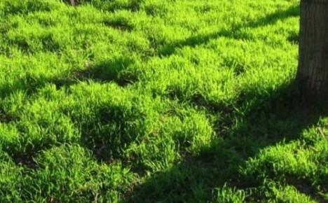 Как выровнять газон который растет кочками