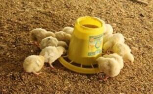 Составление комбикорма для цыплят яичных пород