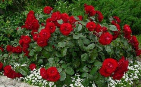 Полиантовые розы из семян — посадка и уход