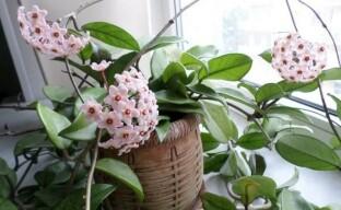 Как ухаживать за хойей, чтобы ежегодно любоваться ее цветением