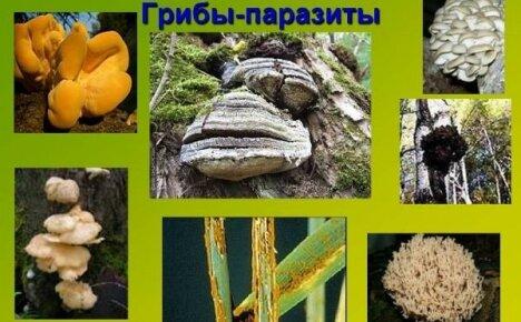 Неприятное знакомство или кто такие грибы-паразиты
