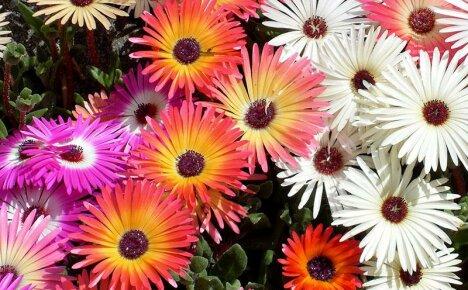 ТОП-12 цветов, похожих на ромашку – название и фото