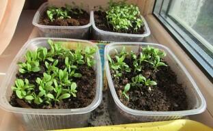 Посев семян гвоздики: февральский способ посадки рассады