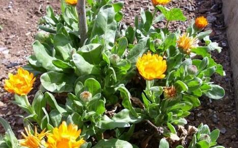 Выращиваем на участке календулу: особенности посадки рассады