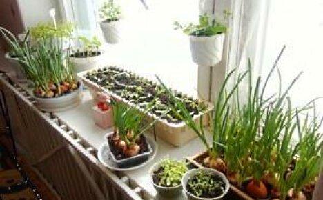 Мини-огород на подоконнике — это витамины круглый год