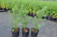 Как размножается лиственница: два способа получить новое деревце