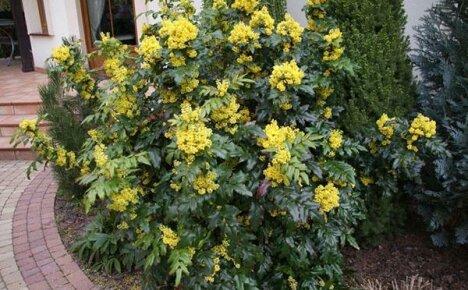 Украшение сада — магония падуболистная