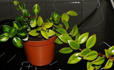 Обрезка и размножение нематантуса в домашних условиях