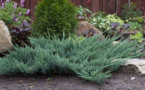 Выбираем горизонтальный можжевельник Блю Чип для украшения своего сада