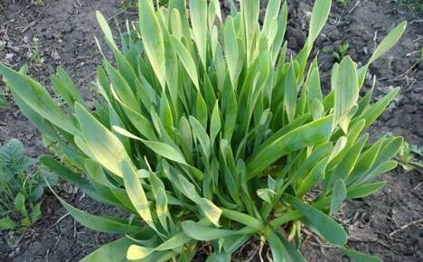 Несложное выращивание лука слизун на открытых грядках
