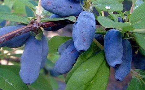 Как получить щедрый урожай вкусных и полезных плодов жимолости Волхова