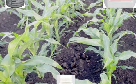 Когда и какие гербициды для кукурузы лучше использовать