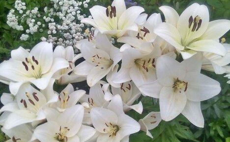 Все, что нужно знать садоводу об уходе за лилиями осенью и подготовке к зиме