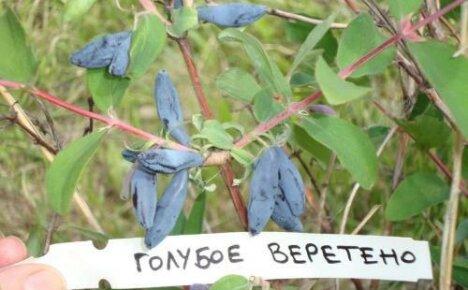 Голубое веретено — один из самых крупных и морозостойких сортов жимолости
