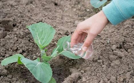 Чем подкормить рассаду капусты, если она плохо растет
