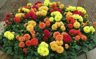 Осеннее украшение сада – однолетние цветы георгины