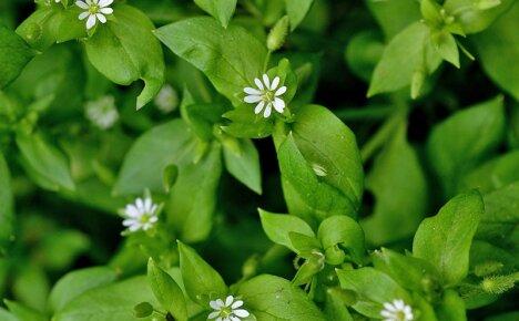 Лечебные свойства травы мокрицы или как из сорняка сделать лекарство