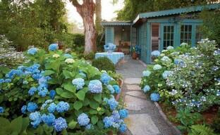 Выращиваем в саду гортензию: как ухаживать за кустарником