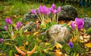 Осенние крокусы – последние яркие ноты сезона цветущих растений