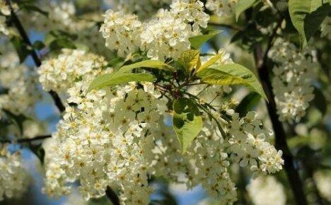 Черемухи пьянящий аромат: когда расцветает и как выглядит растение