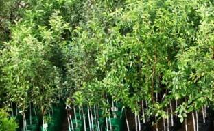 Высаживание плодовых деревьев на участке