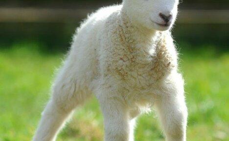 А вы знаете, как вырастить ягнят без овцы здоровыми?