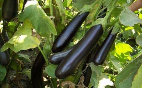 Выращивание баклажан: общие рекомендации и краткий обзор лучших сортов