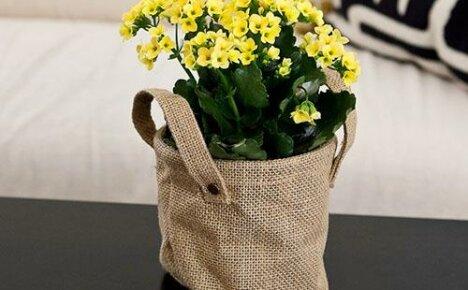 Почему каланхоэ не цветет в домашних условиях