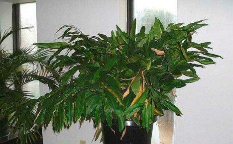 Выращивание кардамона в домашних условиях – путь к созданию тропиков на подоконнике