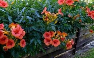 Кампсис Мадам Гален – популярный теплолюбивый гибрид в вашем саду
